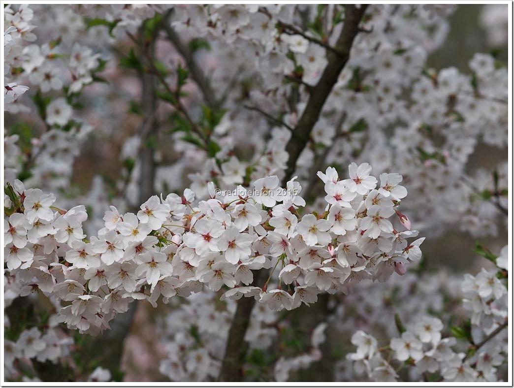 Britzer Garten Apfelblüte