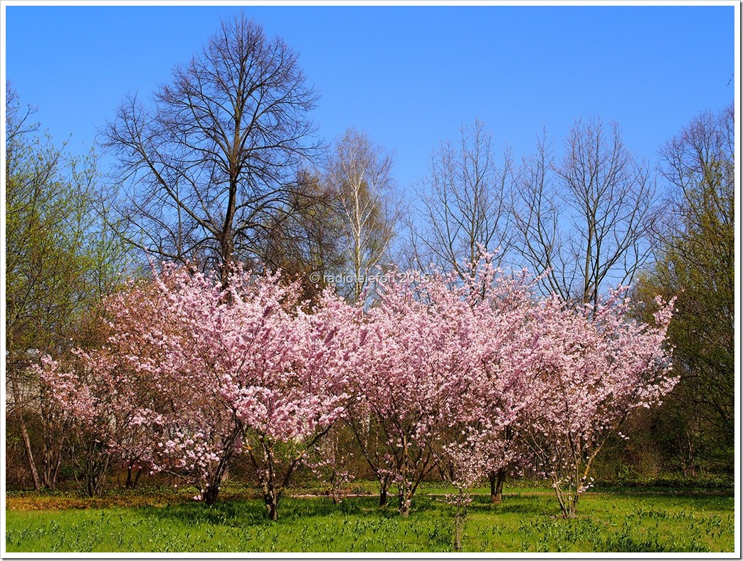 Britzer Garten Kirschblüte
