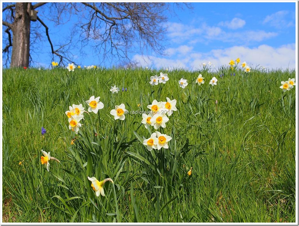 Britzer Garten Narzissen