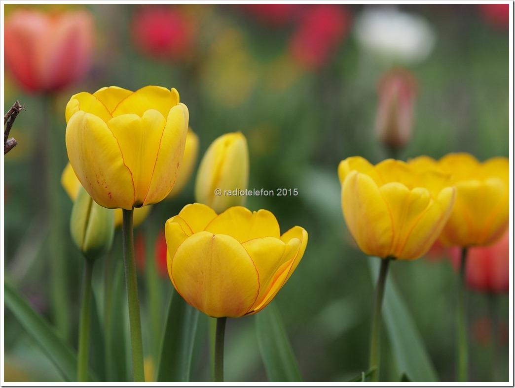Tulpen, St. Matthias, Berlin