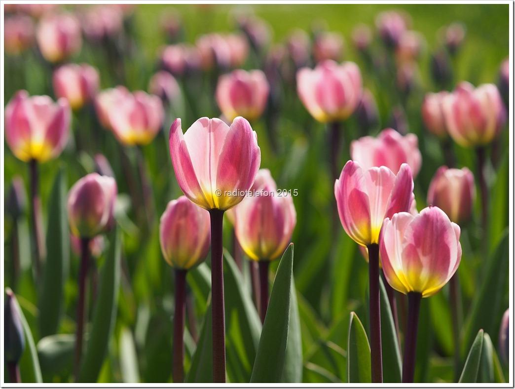 Britzer Garten Tulpen