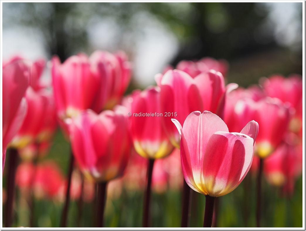 Britzer Garten Berlin Tulipan 2015