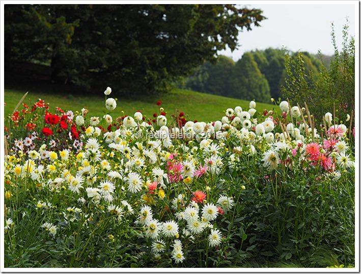 Dahlienfeuer Britzer Garten 2015